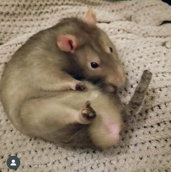 disabled rattie 2 frostbite.jpg