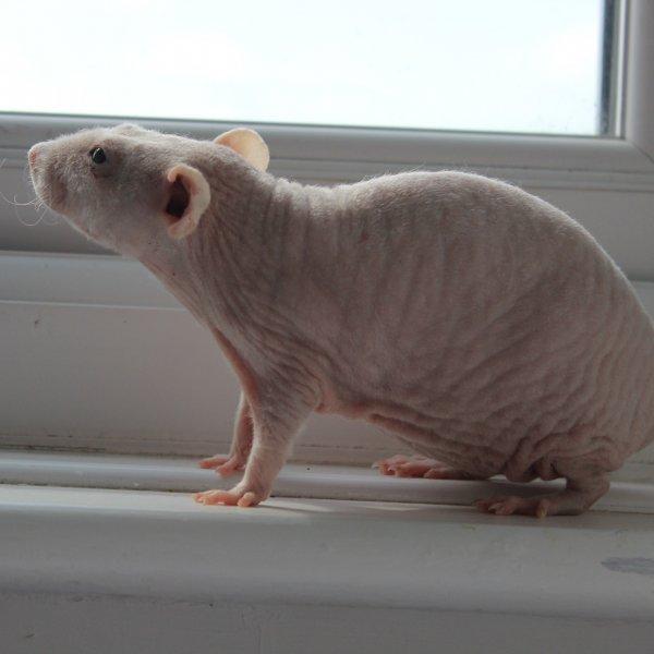 rats7.jpg