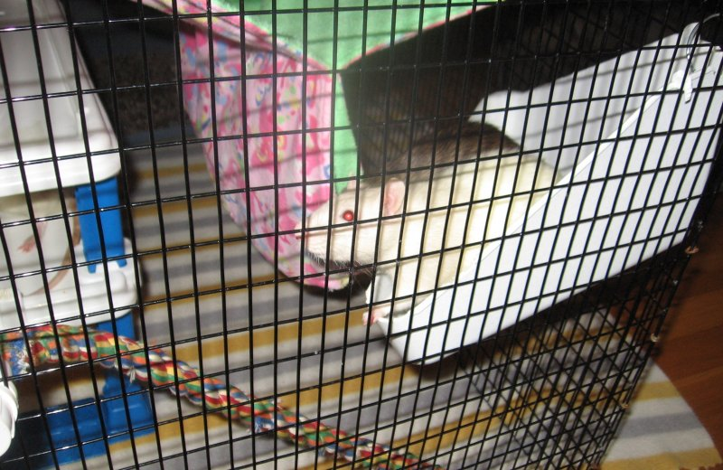 September 08 2018 Osirus & ratties in the playpen.jpg